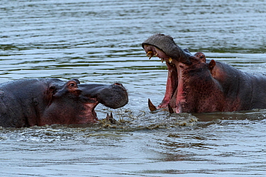 Rf- hippopotamuses (Hippopotamus amphibius) fighting, Londolozi Private Game Reserve, Sabi Sands Game Reserve, South Africa. (This image may be licensed either as rights managed or royalty free.)