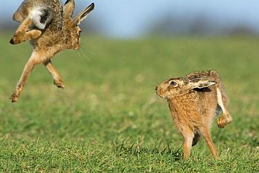 Brown hares (Lepus europaeus) boxing near Holt, Norfolk, England. UK. March.