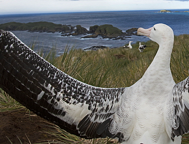 Wandering albatross (Diomedea exulans) displaying on Albatross Island, Bay of Isles, South Georgia. January 2015.