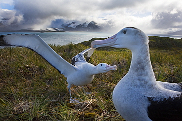 Wandering albatross (Diomedea exulans) pair displaying, Albatross Island, Bay of Isles, South Georgia. January 2015.