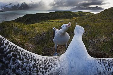 Wandering albatross (Diomedea exulans) pair displaying, Albatross Island, Bay of Isles, South Georgia. January 2015.