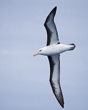 Black-browed albatross (Thalassarche melanophris) in flight. South Atlantic, South Georgia. January.