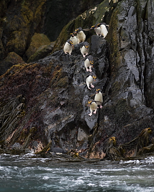 Macaroni penguins (Eudyptes chrysolophus) entering sea from rocks. Bird Island, South Georgia. January.