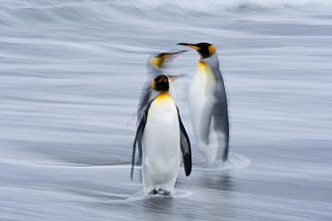 King penguin (Aptenodytes patagonicus) group of three at waters edge. Salisbury Plain, South Georgia. January.
