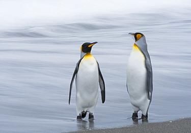 King penguin (Aptenodytes patagonicus) pair standing at waters edge. Salisbury Plain, South Georgia. January.