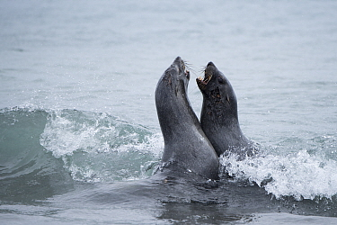 Antarctic fur seal (Arctocephalus gazella) females fighting. Albatross Island, South Georgia. January.