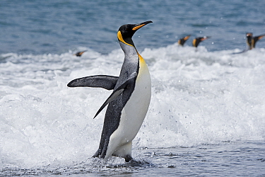 King penguin (Aptenodytes patagonicus) in surf at water's edge. Salisbury Plain, South Georgia. January.