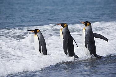 King penguin (Aptenodytes patagonicus) entering water. Salisbury Plain, South Georgia. January.