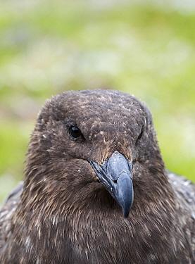 Brown skua (Stercorarius antarcticus) head portrait. Salisbury Plain, South Georgia. January.