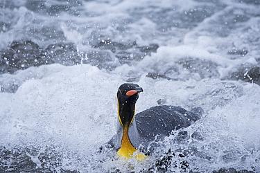 King penguin (Aptenodytes patagonicus) in surf. Salisbury Plain, South Georgia. January.