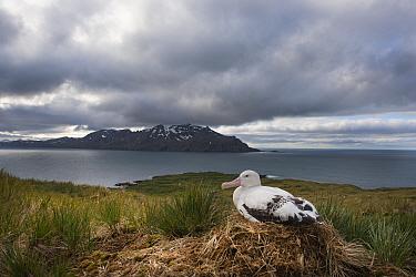 Wandering albatross (Diomedea exulans) incubating egg on nest, Albatross Island, South Georgia. January 2015.