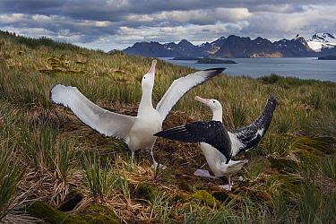 Wandering albatross (Diomedea exulans) pair displaying on Albatross Island, South Georgia. January 2015.