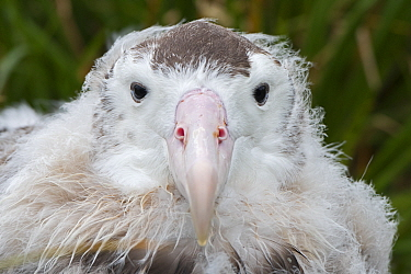 Wandering albatross (Diomedea exulans) head portrait fledgling aged 10 weeks preparing to leave nest. Cape Alexandra, South Georgia. January.