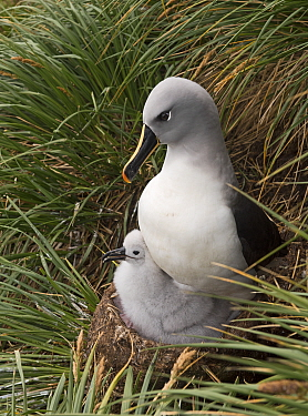Grey-headed albatross (Thalassarche chrysostoma) adult brooding chick in colony at Elsehul, South Georgia. January.