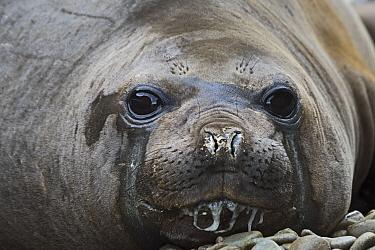 Southern elephant seal (Mirounga leonina) head portrait of female. Cave Cove, King Haakon Bay, South Georgia. January.