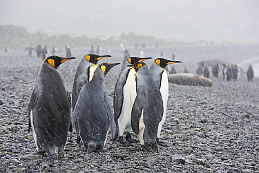 King penguins (Aptenodytes patagonicus) on beach in rain. Holmestrand, South Georgia. January.