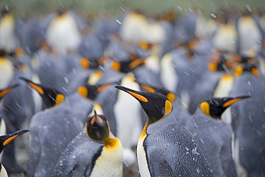King penguins (Aptenodytes patagonicus) in snow. Holmestrand, South Georgia. January.