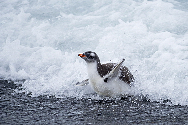Gentoo penguin (Pygoscelis papua) chick in surf. Holmestrand, South Georgia. January.