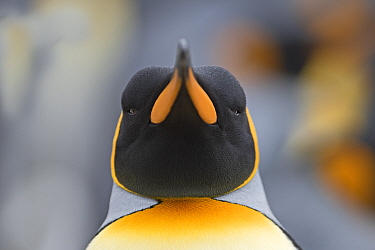 Head portrait of King penguin (Aptenodytes patagonicus) Holmestrand, South Georgia. January.