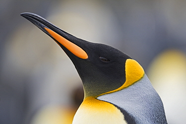Head portrait of King penguin (Aptenodytes patagonicus) Holmestrand, South Georgia. January.