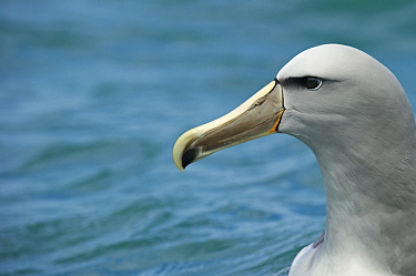 Head portrait of Shy albatross (Thalassarche cauta) near Kaikoura, Southern Ocean, New Zealand. November.