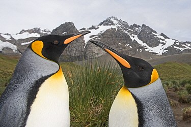Head portrait of two King penguins (Aptenodytes patagonicus). Gold Harbour, South Georgia. January 2015.