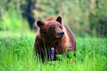 Male Grizzly bear (Ursus arctos horribilis) feeding on Nootka lupine. Khutzeymateen Grizzly Bear Sanctuary, British Columbia, Canada.