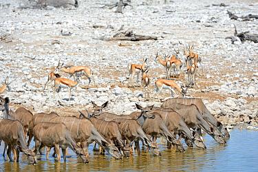 Greater kudu herd (Tragelaphus strepsiceros) and Springbok (Antidorcas marsupialis) drinking at waterhole in dry season. Etosha National Park, Namibia, Africa. October.