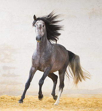 Dapple grey Andalusian stallion running in arena, Northern France, Europe. March.
