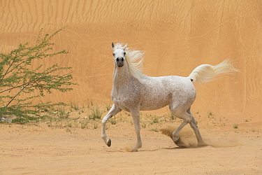Grey Arabain stallion trotting in desert dunes near Dubai, United Arab Emirates.