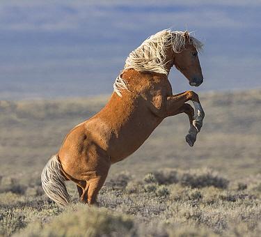 Wild Mustang palomino stallion rearing, White Mountain, Wyoming, USA. August.