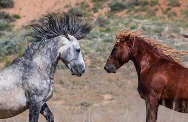 Two wild Mustang stallions face each other, one grey one sorral in McCullough Peaks Herd Area, Wyoming, USA. June.