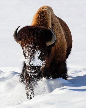 Bison (Bison bison) walking in winter snow, Yellowstone, USA. January.