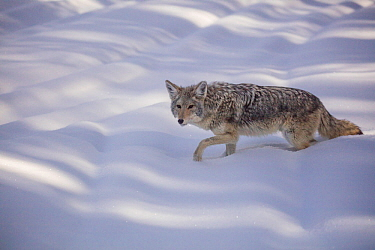 Coyote (Canis latrans) walking in winter snow, Yellowstone, USA. January.