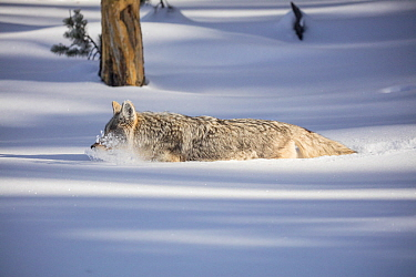Coyote (Canis latrans) walking though deep winter snow, Yellowstone, USA. January.