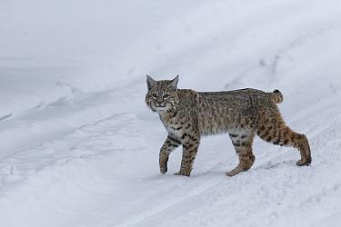 Bobcat (Lynx rufus) pausing in winter snow, Yellowstone, USA. January.