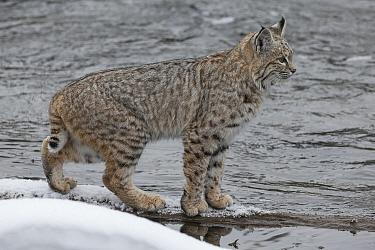 Bobcat (Lynx rufus) pausing on snowy river bank, Yellowstone, USA. January.