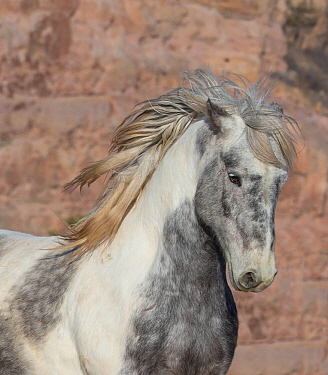Head portrait of wild Mustang stallion tossing his mane while running, Black Hills Wild Horse Sanctuary, South Dakota, USA. February.