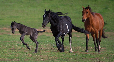 Wild black Mustang filly leaping as pinto Mustang mother and friend follow, Black Hills Wild Horse Sanctuary, South Dakota, USA. June.