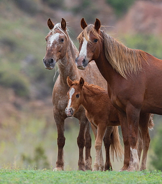 Wild Mustang mare with sister and foal at Black Hills Wild Horse Sanctuary, South Dakota, USA. May.