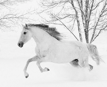 Grey Andalusian mare running in snow, Berthoud, Colorado, USA. January.