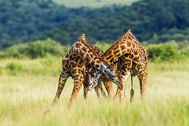Masai giraffe (Giraffa camelopardalis tippelskirchi) males fighting. Masai-Mara Game Reserve, Kenya.