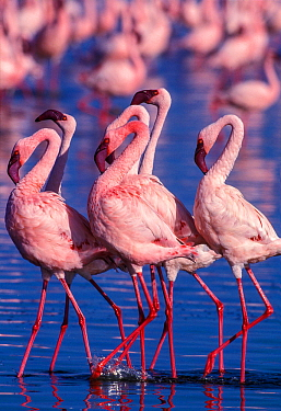 Lesser flamingo (Phoeniconaias minor) males displaying. Lake Nakuru, Kenya.