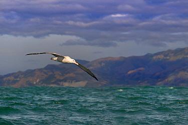 Wandering albatross (Diomedea exulans) in flight, Kaikoura, New Zealand
