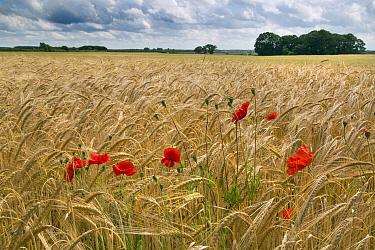 Barley (Hordeum vulgare) field with Poppies (Papaver rhoeas) North Norfolk, UK, June.