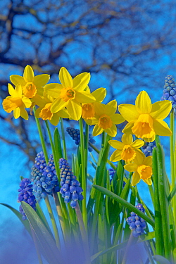 Grape hyacinths (Muscari) and Daffodils (Narcissus sp) in flower, Norfolk, UK, March.