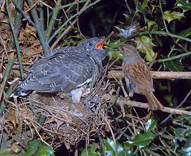 Dunnock (Prunella modularis) feeding young cuckoo in nest