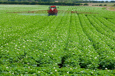 Potato (Solanum tuberosum) crop in flower with sprayer spraying fungicides, Norfolk, England, UK, July.