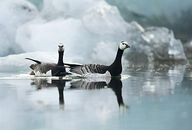 Barnacle Geese (Branta leucopsis) among ice. Jokulsarlon Glacier, Iceland. June .