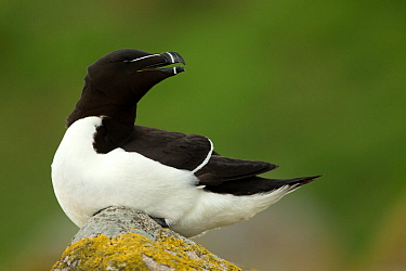 Razorbill (Alca torda) resting on rocks. Great Saltee Island, County Wexford, Ireland. April.